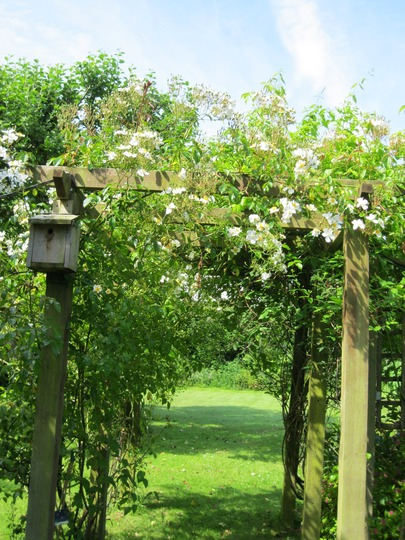 One of the white climbing roses is just coming out on the arch.