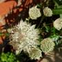 White Astrantia from Scottish