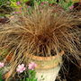 Carex 'Bronco' (Carex comans 'Bronco')