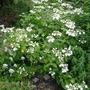 Hydrangea 'Lanarth' - 2014 (Hydrangea macrophylla)