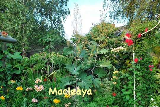 Macleaya cordata... (Macleaya microcarpa (Plume poppy) Kelways Coral)