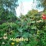 Macleaya microcarpa (Plume poppy) Kelways Coral
