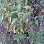 Salvia nemerosa Caradonna