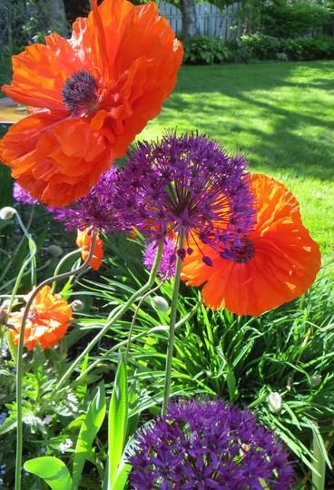 Allium and Poppies (Allium aflatunense)