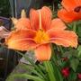 Day lily Fulva (Hemerocallis fulva (Chin Chen TsAi))