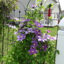 more clematis