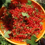 red currant from one bush