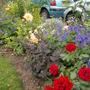 Front garden with R. George Best, sedum, hardy g.