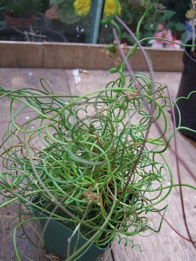 Juncus effusus f. spiralis (Juncus effusus f. spiralis)