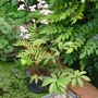 Rodgersia sambucifolia - 2014 (Rodgersia sambucifolia)