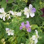 Geranium 'Splish Splash'