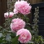 Peony Sarah Bernhardt (Paeonia lactiflora)