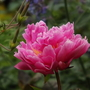 Peony Fragrant Pink Imp (Paeonia lactiflora)