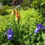 Iris and Kniphofia
