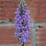 Spotted Orchid:  (Self-sown in garden, second year of flowering).