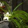 Pachypodium species (Pachypodium)
