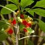 Impatiens niamniamensis (Parrot Plant)