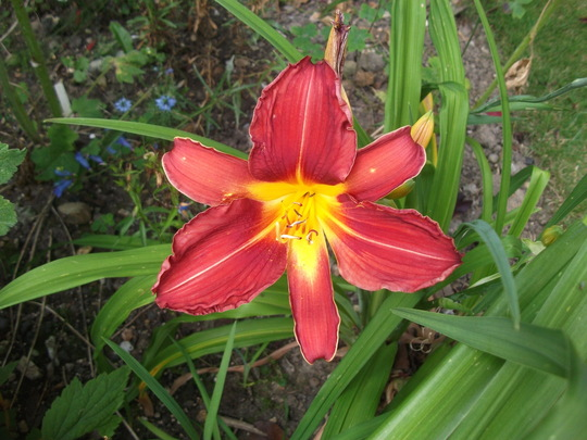 Hemerocallis Daylily 'double firecracker' this is a beautiful deep colour buy it never strikes me as a double? but thats what the label says. (Hemerocallis)