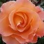Rose Sunset Boulevard (rosa)