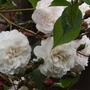 Rosa Felicite Perpetue - close up of flowers (Rosa 'Félicité Perpétue')