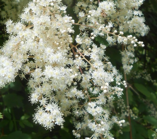 detail of flower cluster Holodiscus discolor (oceanspray) (Holodiscus discolor)