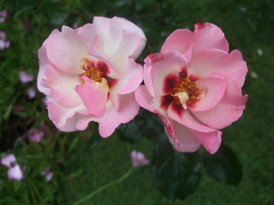 Rosa 'Alissar, Princess of Phoenicia' (Rosa floribunda)