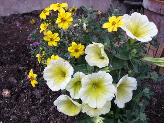 Yellow & Pale Yellow Petunia