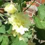 Yellow Double Hollyhock