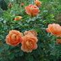 Rosa Lady Of Shalott.
