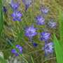 Brodiaea Laxa and Stipa.. (Brodiaea laxa Queen Fabiola.)