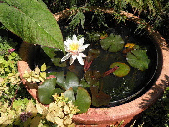 Water Lily looking fabbo
