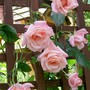 Climbing Rose 'High Hopes' (Rosa 'High Hopes')
