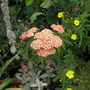 achillea, lovely colour