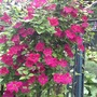 Clematis John Howell  (Clematis viticella (Viticella Group clematis))