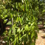 Garcinia xanthochymus - Gamboge, Yellow Mangosteen (Garcinia xanthochymus - Gamboge, Yellow Mangosteen)