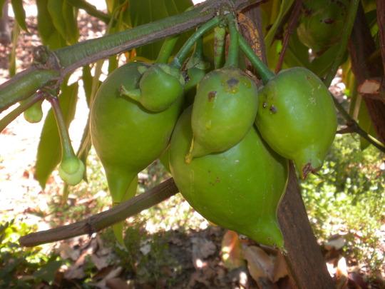 Garcinia xanthochymus - Gamboge, Yellow Mangosteen with Fruit (Garcinia xanthochymus - Gamboge, Yellow Mangosteen)