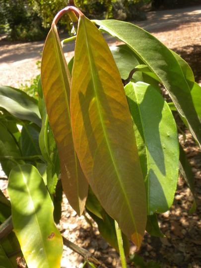 Garcinia xanthochymus - False Mangosteen (Garcinia xanthochymus)