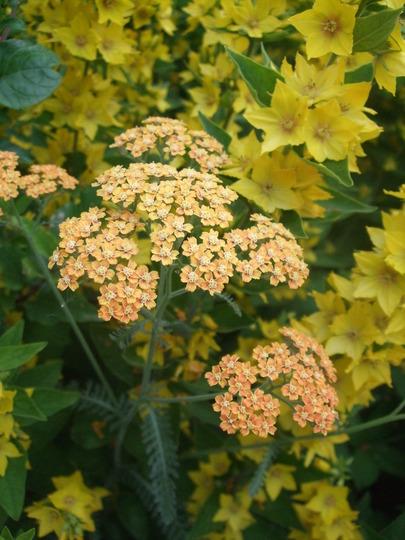 Yellow and Orange (Achillea)