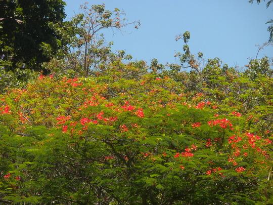 Delonix regia - Royal Poinciana Flowering (Delonix regia - Royal Poinciana)