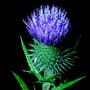 Thistle pollen (Onopordum acanthium (Scotch thistle))