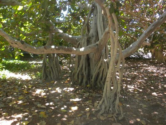 Ficus benghalensis - Indian Banyan Tree Roots (Ficus benghalensis - Indian Banyan Tree)