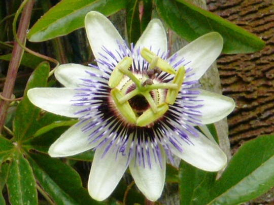Passion flower ...  White Lightening ...