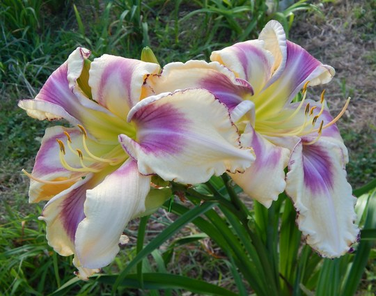 Daylily - 'Life Is A Highway'