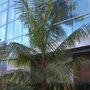 Dypsis leptocheilos - Red Neck Palm or Teddy Bear Palm (Dypsis leptocheilos - Red Neck Palm or Teddy Bear Palm)