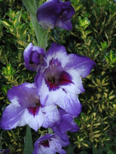 Gladoilus 'Vista'