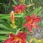 Hemerocallis Daylily 'double firecracker' this is a beautiful deep colour.  (Hemerocallis)