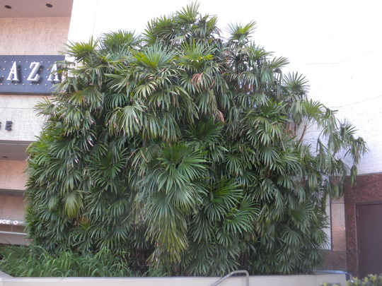 Rhapis humilis - Slender Lady Palm (Rhapis humilis - Slender Lady Palm)
