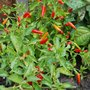 Red Chilies (Capsicum frutescens (Chilli))