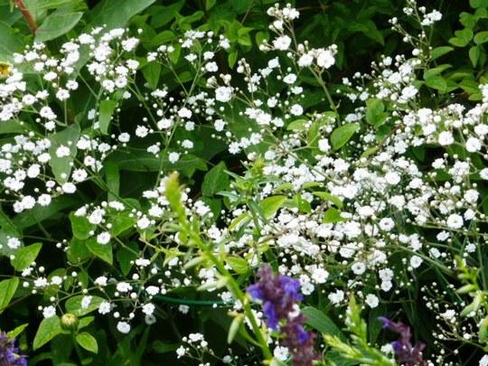 Gypsophilia ...   Festival White ...