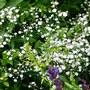 Gypsophila_.festival_white